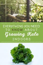 how to grow kale indoors u0026 mistakes to avoid sproutabl