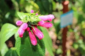 Salvia Flower Inventory Of Salvias And Salvia Like Perennials Inventory