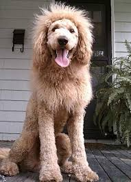 goldendoodle puppy virginia 21 best cakes images on puppies bowser and dogs