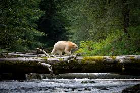 Home Of Prince by Prince William And Prince Kate Endorse Great Bear Rainforest