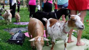 Okc Botanical Gardens by Goat Yoga Coming To Oklahoma City During Festival At Myriad