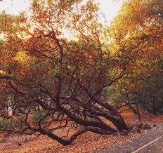 manzanita trees manzanita tree refocused