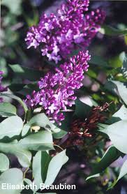 native alberta plants common purple lilac