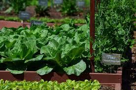 will trump bulldoze the white house vegetable garden conscienhealth