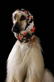 afghan hound lifespan afghan hounds pose in chic headscarf collection style life