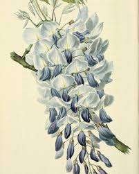 wisteria wisteria sinensis william clark for flora conspicua