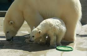 public help sought in naming toledo zoo u0027s polar bear cubs the blade