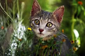 allergy in cats symptoms causes diagnosis treatment recovery