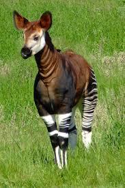 5 interesting facts about okapis hayden u0027s animal facts