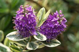 new zealand native plants list hebe plant wikipedia
