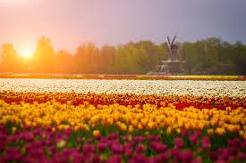 Netherlands Tulip Fields Spain Versus The Netherlands Blog Canvas Holidays