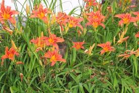 Day Lillies How To Grow Tiger Lily Flowers By The Gardener U0027s Network