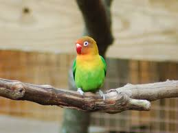 fischer u0027s lovebird housing pet care temperament pictures