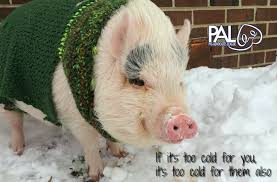 pigs and winter pal pig advocates league