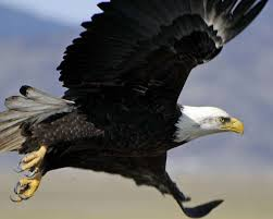 strange eagle wallpapers in photos birds of prey