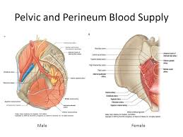 Perineum Anatomy Female Pelvis Forum Ppt Video Online Download