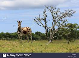 zebra standing on grassy field next to a tree at the mpongo