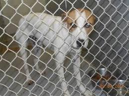 boxer dog for adoption 70 best boxer bull dogs for adoption images on pinterest animal