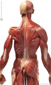 Human Anatomy Muscle 1106 Best Anatomy Man Images On Pinterest Anatomy Reference