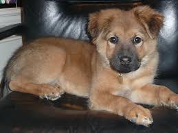 australian shepherd malamute mix can a litter of puppies have more than one father chow lab mix
