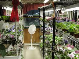 donna u0027s plant room fancy bloomers african violets