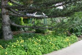native texas plants for shade a rush of denver gold columbine plant select