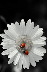 9 best daisy images on pinterest daisies hand drawn and margaritas