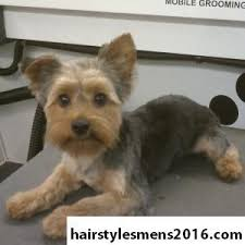male yorkie haircuts short yorkie haircuts cuts for daisy pinterest yorkie
