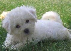 d douglas bichons frise selection of your dog breed dogs pinterest dogs dog breeds