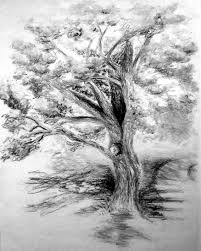 old maple tree charcoal drawing