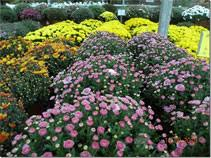 caring fall mums jim jenkins lawn u0026 garden center