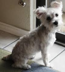 haircuts for yorkies with thin hair grooming a schnoodle help