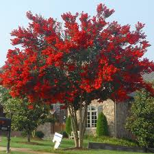 best 25 crepe myrtle landscaping ideas on crepe