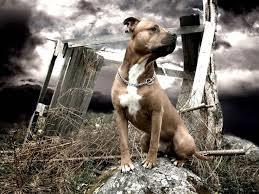 american pitbull terrier z hter deutschland 491 best animals dog images on pinterest animals dog animals