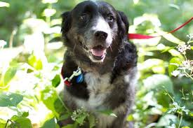 Dogs Helping Blind People 9 Awesome Rescue Groups That Specialize In Saving Special Needs