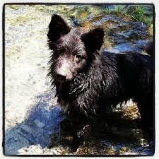 incrocio border collie x australian shepherd is the poodle the smartest dog u2013 dog