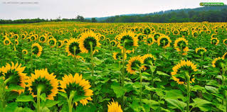 sussex county sunflower maze 101 route 645 sandyston nj 07826