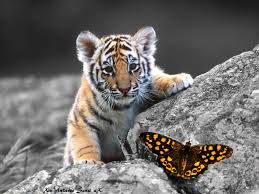 baby tiger butterfly astg by ponthieu14 on deviantart