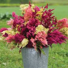 coxcomb flower celosia seeds organic varieties johnny s selected seeds
