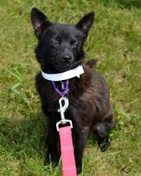 belgian sheepdog on petfinder i found chevy on lancashire heeler and dogs