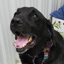 affenpinscher ottawa sit with me dog rescue