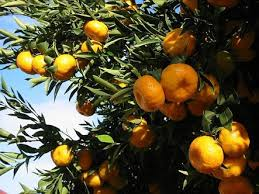 22 best my citrus trees and fruit images on citrus