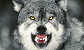 Mad Wolf Meme - 100 high quality meme macro advice animal templates oc