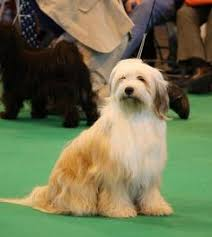hair cuts for the tebelan terrier tibetan terrier tibetan terrier terrier and dog