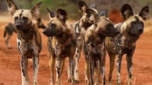 safari ltd african wild dog luxury south africa holidays natural world safaris