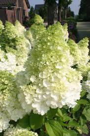 39 best hydrangeas images on pinterest hydrangeas garden plants