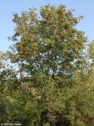 sorbus aucuparia european mountain ash minnesota wildflowers