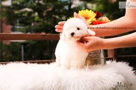 bichon frise nashville ace bichon frise puppy for sale near seoul korea b4f62926 72d1