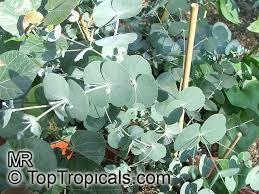 ornamental shrubs and trees argyle apple silver dollar gum