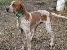 bluetick coonhound puppies joplin mo red tick coonhound dog profile for emma a female redtick